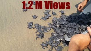 Download New Born Baby Turtles Released in the Ocean by The People Video