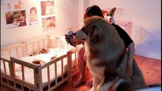 Download Dám trêu chó con mới sinh - Alaska Mật bị Corgi Meo đánh sấp mặt ==)) Corgi Puppy So Cute Video