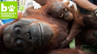Download Orangutan Rescue: Saved From Starvation Video