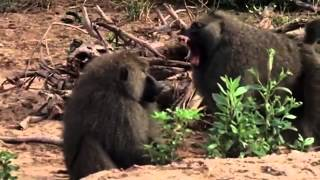 Download Lions Hunting Baboons nature Wild Africa Video