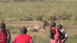 Download Lion vs Maasai, Amboseli National Park, Safari Kenya 2015 Video