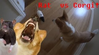 Download Rat Chases Corgi! Video