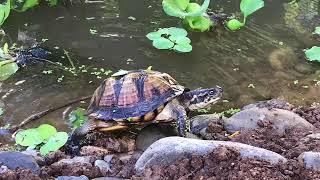 Download DIY Turtle pond enclosure build at BYT Video