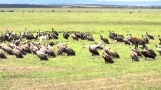 Download Dog vs Hyenas and Vultures in the Maasai Mara Video