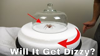 Download Do Spiders Actually Get Dizzy? Spinning a Hobo Spider on a Turntable Then Letting It Try To Walk Video