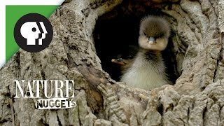 Download Ducklings Leave the Nest   NATURE Nuggets Video