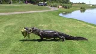 Download Oyster Bay Golf Links - Alligator Video