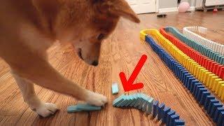 Download DOG KNOCKS DOWN 1,000 DOMINOES! Video