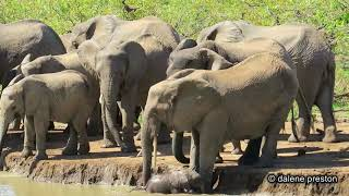 Download Baby elephant falls in water hole Kruger National Park Video