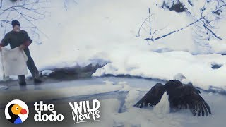 Download Bald Eagle Who Was Frozen To Lake Gets Found Just In Time | The Dodo Wild Hearts Video