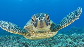 Download Swimming with Sea Turtles: Beautiful Surprises Underwater Video