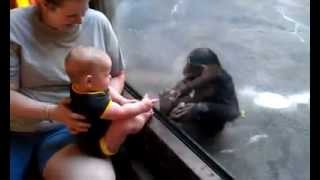 Download Baby and Chimp Make a Connection at the Zoo Video
