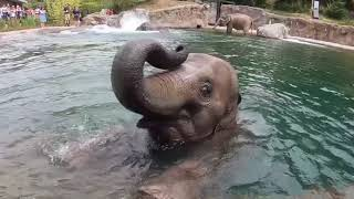 Download Oregon Zoo elephants cool off in the pool Video