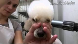 Download Tosa topete de poodle Video