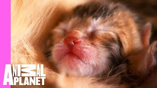 Download Watch These Playful Bengal Kittens Grow Up | Too Cute! Video