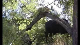 Download Leopard Chased Up A Tree By Buffalo Video