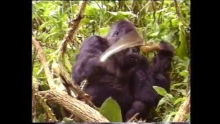 Download Among Mountain Gorillas Video