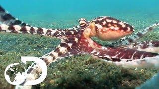 Download The Mimic Octopus | Nick Baker's Weird Creatures Video