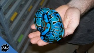 Download YOU WON'T BELIEVE THE COLOR OF THESE SNAKES! SnakeBytesTV Video