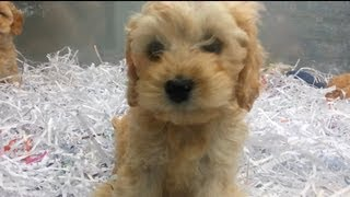 Download Playing Labradoodle? Puppies That Are Very Cute! Video