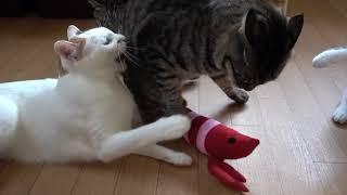 Download 強引に奪ってみんにゃに怒られる 猫 cat meow Video