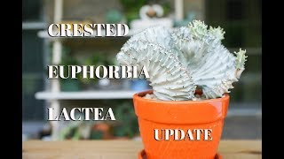 Download Euphorbia Lactea Cristata: Summer update Video