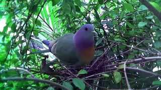 Download Pink-necked Green Pigeon Nesting Video