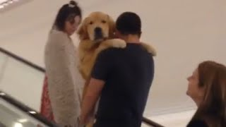 Download Golden Retriever Gets Carried up Escalator Video