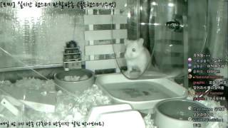 Download [모찌Live/햄스터] 실시간 햄스터 관찰 방송 Hamster Live #16-12-02 Video