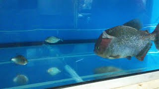 Download Giant piranha meets baby Red belly piranha face to face Video