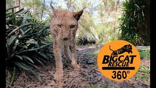Download Most Handsome Siberian Lynx in 360 Video