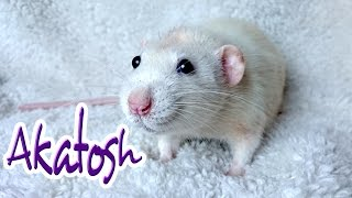Download Akatosh | Meet My Rats #9 Video