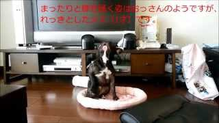 Download ☆フレンチブルドッグおもしろ動画 french bulldog lol Video