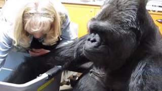 Download Koko, the gorilla who mastered sign language, passes away at 46 Video