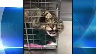 Download Cat tests positive for rabies in Niagara County, health officials warning public of rabid animals Video