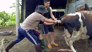 Download Cận cảnh đỡ đẻ cho bò sữa, theo cách của người VIỆT NAM Video