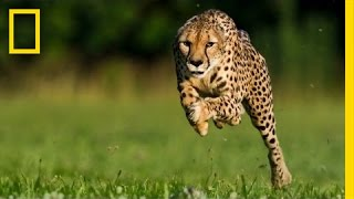 Download Greg Wilson: Cheetahs on the Run | Nat Geo Live Video