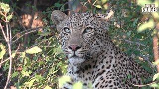 Download Leopard Family, Part 41 Video