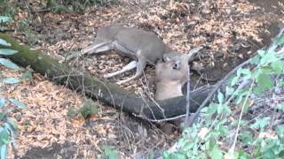 Download Mountain Lion vs 4 point buck 11/1/2015 Video