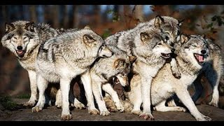 Download National Geographic Inside A Wolf Pack - Best DocumentarY 2017 Video