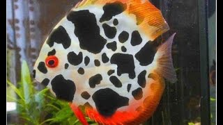 Download Discus Fish Secrets, Discus Fish Care And Breeding NEW 2016 Video