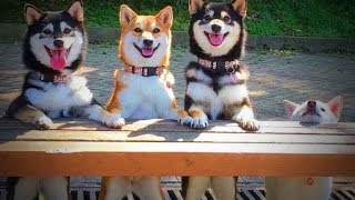 Download Weird Dogs 😂🐕 Funny Huskies 2017 - 2018 (Part 1) [Funny Pets] Video