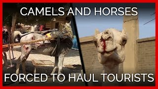 Download Camels and Horses Forced to Haul Tourists in Egypt With No Relief Video