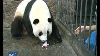 Download Giant panda cub dies 5 days after birth Video