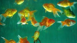 Download Aquarium Fish | How It's Made Video