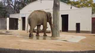 Download 象さんオシッコの様子(王子動物園) State of elephant pee(Oji Zoo) Video