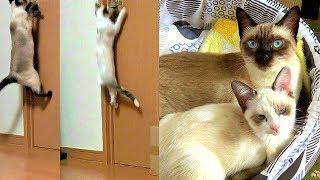 Download 子猫保護(39~40日目):40日目にして部屋のドア🚪開けに自ら挑み出した新入子猫😲 Video