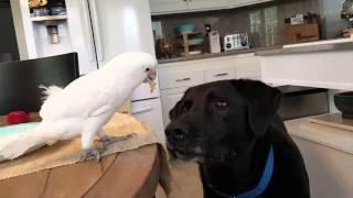 Download Cockatoo feeds Labrador Video