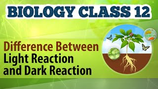 Download Difference Between Light Reaction and Dark Reaction - Photosynthesis in Plants - Biology Class 12 Video