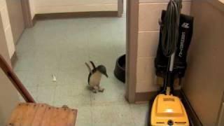 Download Cookie the Little Penguin at the Cincinnati Zoo Video